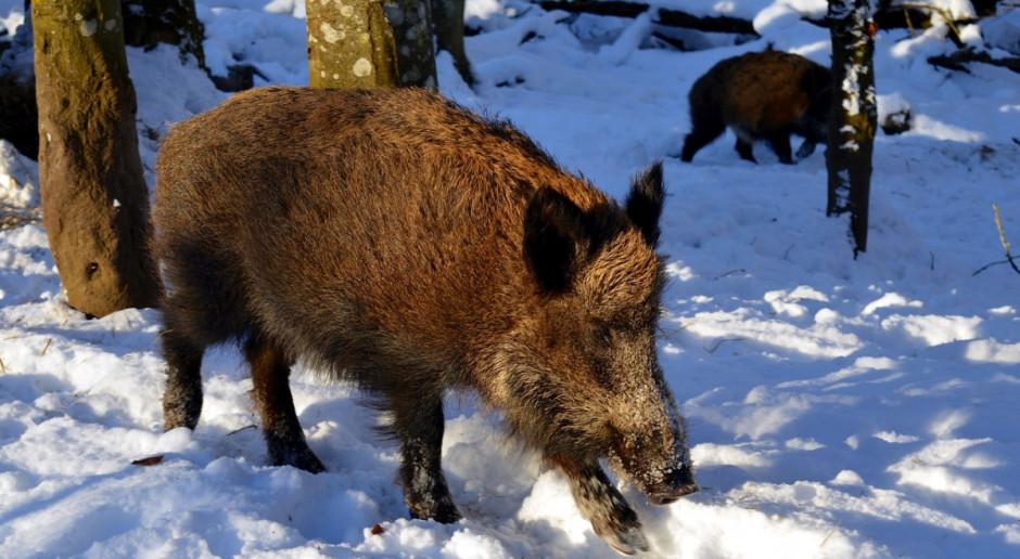 Ponad 50 nowych przypadków afrykańskiego pomoru świń