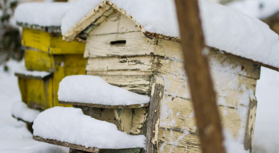 16 proc. pszczół nie jest w stanie przeżyć zimy