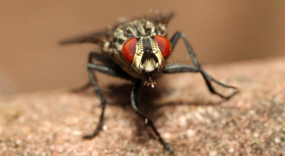 Ostatni dzwonek na zwalczanie populacji much w chlewni