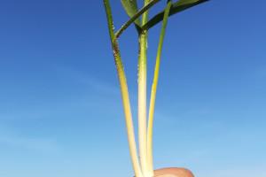 Dokrzewianie chemiczne pszenicy, kiedy taki zabieg warto wykonać?