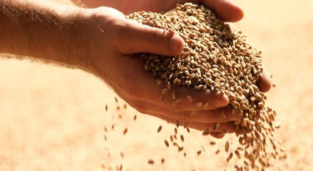 Pszenica ponownie tanieje, inne gatunki zbóż i rzepak również