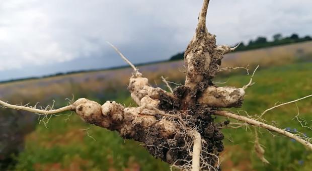 Co niszczy zarodniki kiły kapusty?