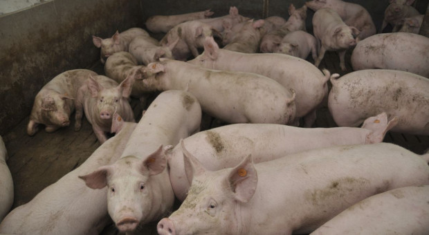 Credit Agricole: Kolejne miesiące przyniosą wzrost cen świń