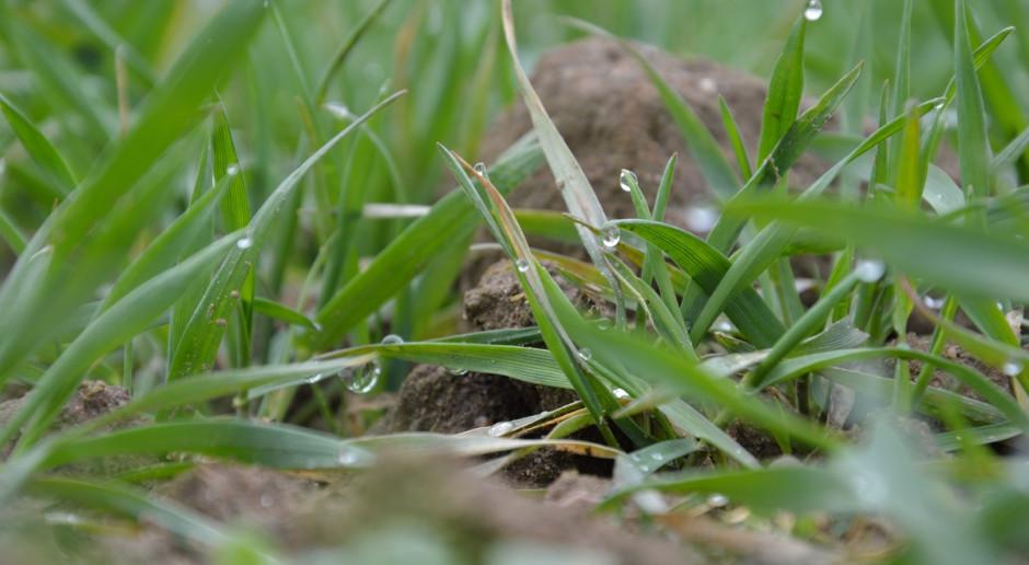 Dokrzewianie zbóż na wiosnę