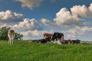Raport: Duńscy rolnicy mają gorsze warunki niż europejscy odpowiednicy