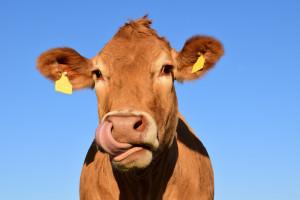 Najlepsi rolnicy - hodowcy bydła nagrodzeni na I Podlaskiej Gali Mlecznej
