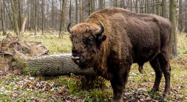 Żubr gatunkiem mniej zagrożonym w Czerwonej księdze IUCN