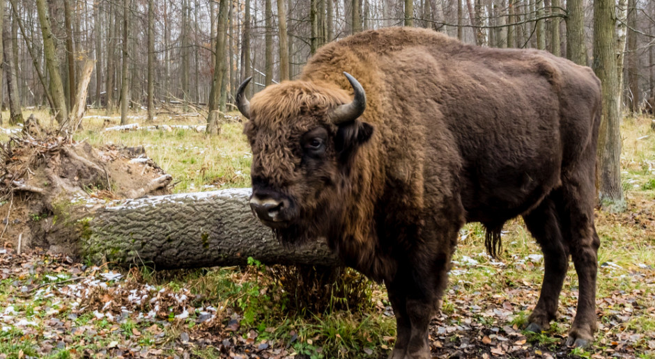 Zakończyła się zimowa inwentaryzacja białowieskich żubrów - doliczono się 715 osobników