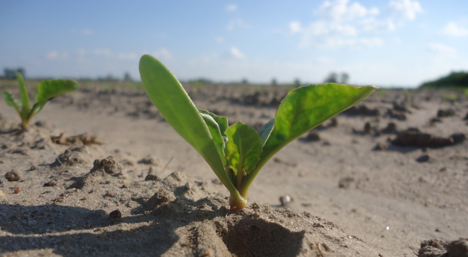 Burak cukrowy a pozostałości w glebie herbicydów