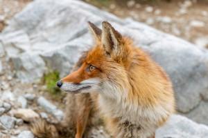 Lisy w Śląskiem i Małopolsce zostaną zaszczepione przeciw wściekliźnie