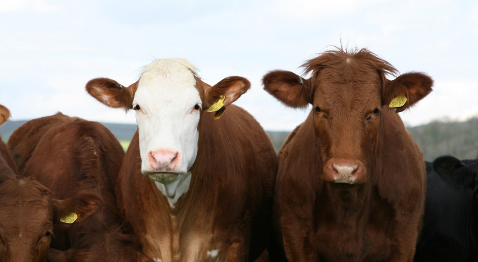 UE: Niewielki spadek pogłowia bydła