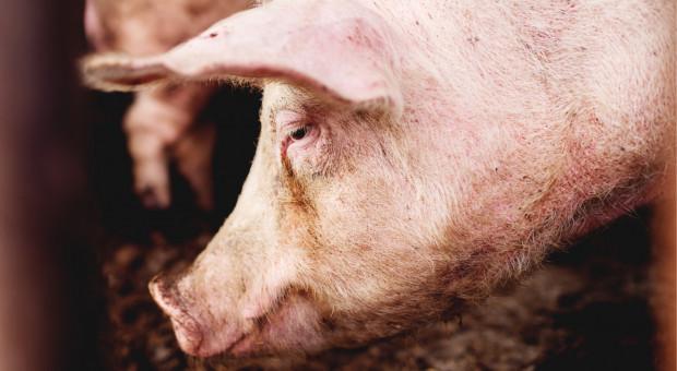 Ekspert BNP Paribas: ASF rozdaje karty na rynku wieprzowiny