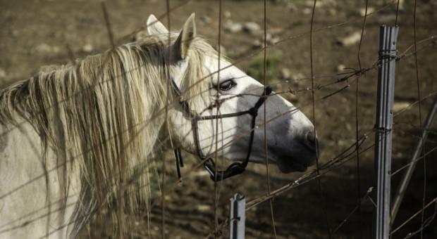 Śląskie: w rzeźni w Wodzisławiu Śląskim mogło dochodzić do znęcania się nad zwierzętami