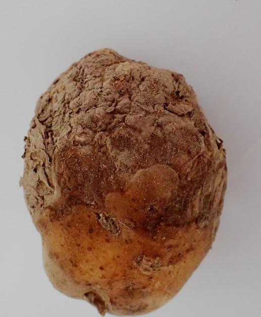 Uszkodzenie bulwy ziemniaka spowodowane żerowaniem niszczyków i postępujących procesów gnilnych