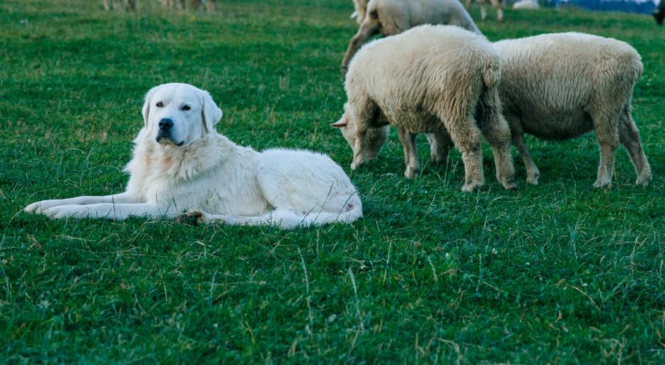 Warmińsko-mazurskie: Hodowcy owiec dostaną psy pasterskie