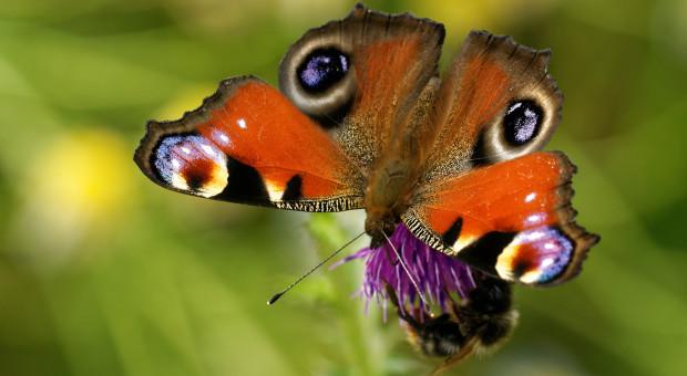 Rolnicze zanieczyszczenie azotem - szkodliwe dla motyli