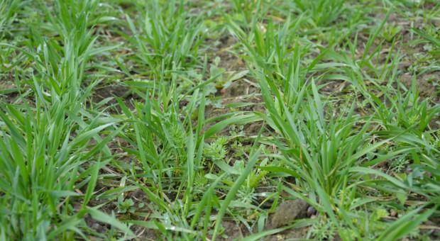 Innvigo poszerza paletę herbicydów dla zbóż