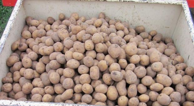 Jakie odmiany bardzo wczesne i wczesne ziemniaka?
