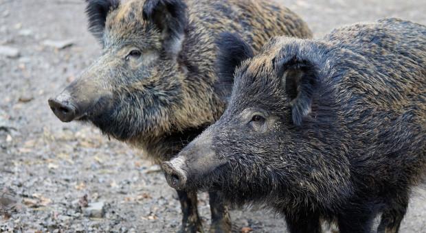 Belgia: 10 nowych przypadków afrykańskiego pomoru świń