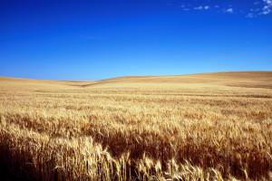 Najmniejszy obszar uprawy pszenicy w USA od 1919 roku