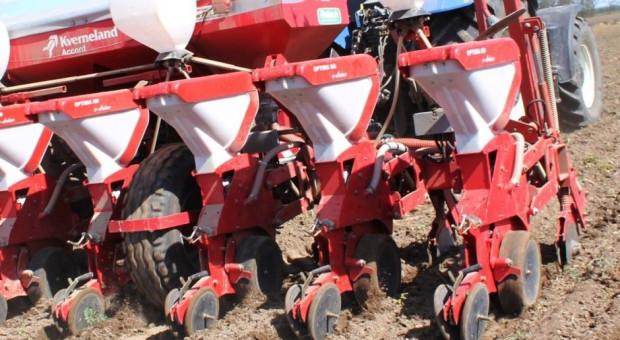 Jaka temperatura gleby do siewu kukurydzy i typ ziarna: flint czy dent
