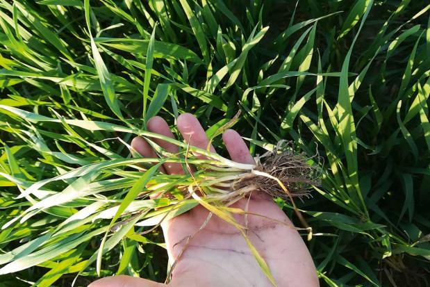 T-1 fundamentem ochrony zbóż