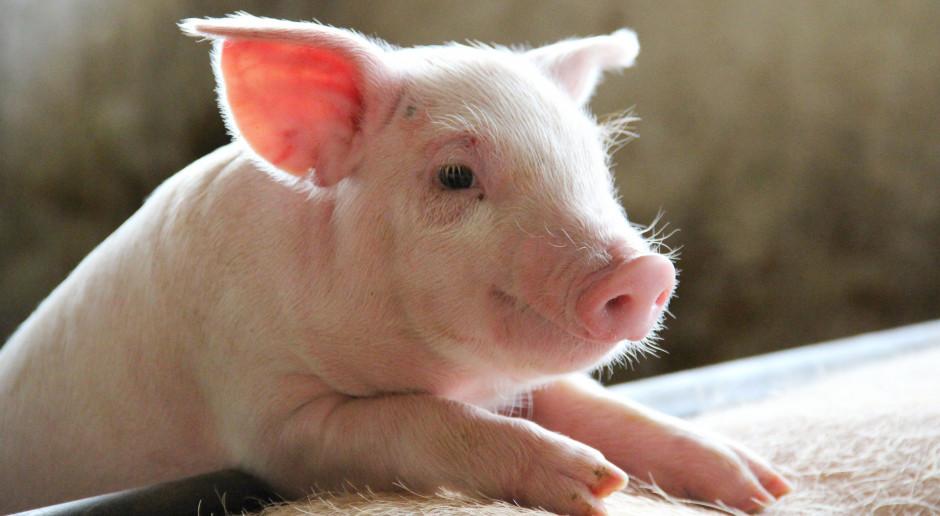 Ardanowski: Jeśli będzie zgoda KE to dopłaty do krów i świń jeszcze w tym roku