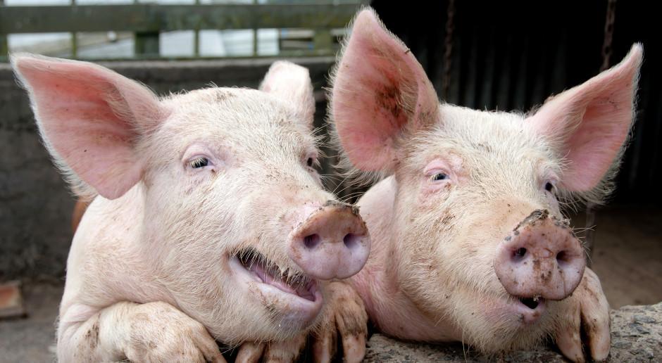 Ardanowski: W 57 gminach wraca hodowla świń