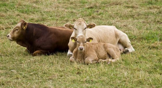 Eksperyment czipowania bydła w fazie testowej