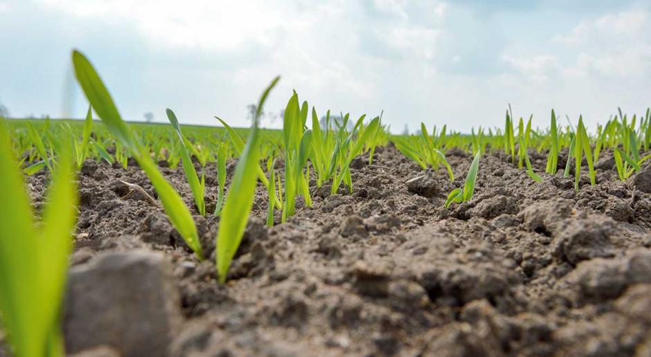 Nie zaniedbać ochrony zbóż jarych
