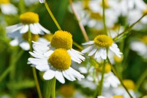 Rumianek pospolity odporny na działanie herbicydów