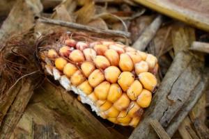 Uważaj na pszenicę po kukurydzy