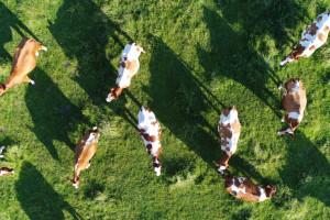 Krowy w futurystycznej dojarni testują łączność 5G