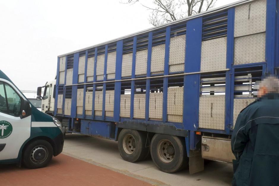 W naczepie znajdowało się za dużo świń, a pojazd nie miał badań technicznych, zdjęcia: WITD Białystok