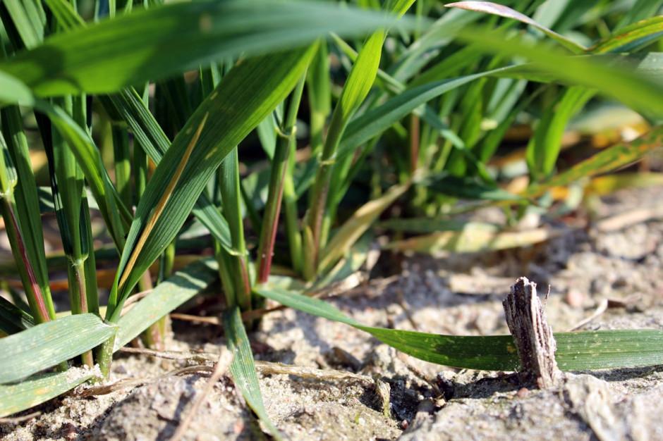 II dawka azotu w pszenicy w obliczu posuchy