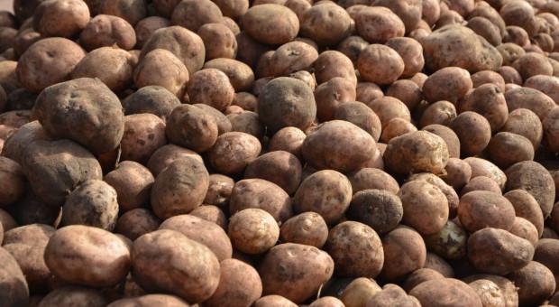Rynek ziemniaka – jaka cena?