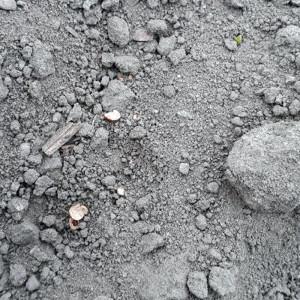 Uszkodzone nasiona buraka Fot. A. Kobus