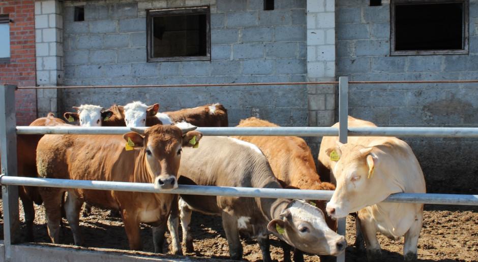 Ceny bydła – jałówka wciąż droższa od byka