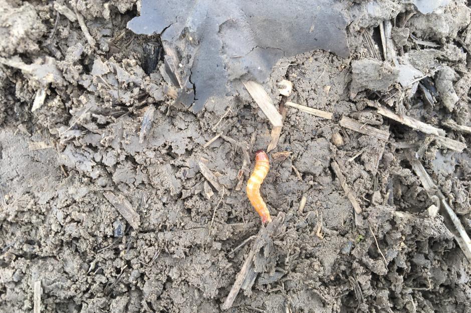 Pole, na którym żyją szkodniki glebowe nie nadaje się do wprowadzenia uproszczeń. Najpierw należy uporać się z problemem tradycyjnymi metodami, a dopiero później można wprowadzać nad uproszczeniami w uprawie. W skrajnie uproszczonych systemach uprawy tego typu szkodniki można zniszczyć tylko chemicznie, co również będzie ograniczać populację pozytywnie funkcjonujących organizmów.