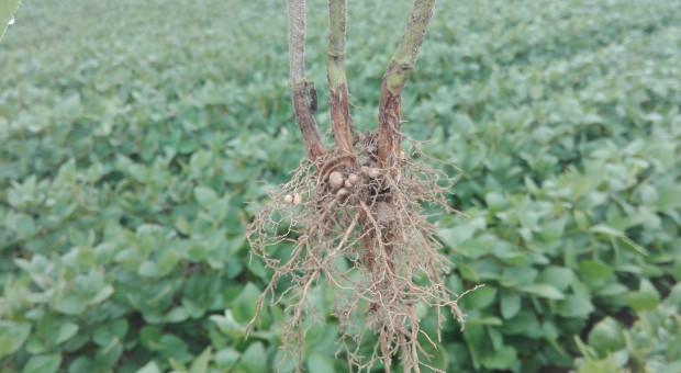 Soja - roślina, która sprawdza się w uprawie bezorkowej