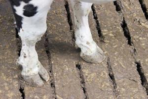 Choroby racic dotkliwe zarówno dla zwierząt, jak i hodowcy