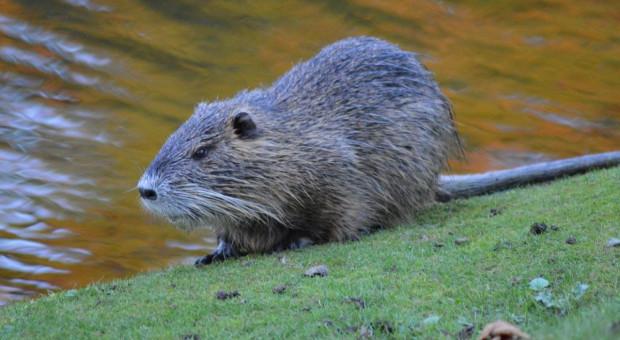 Odszkodowania za szkody powodowane przez bobry - zmiany bezzasadne