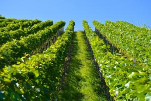 Coraz więcej turystów w podkarpackich winnicach
