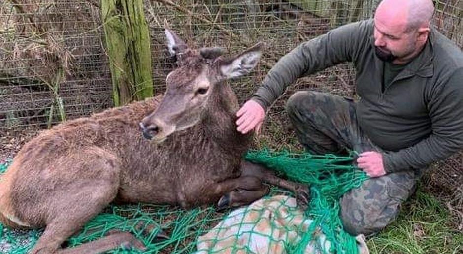 Policjanci ratowali rannego jelenia