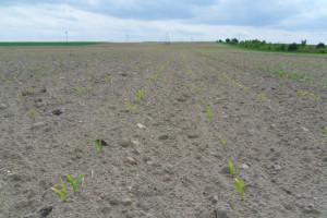 Glifosat na dobry start kukurydzy