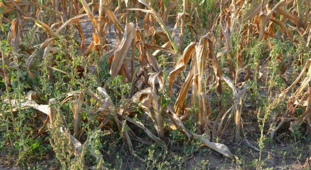 W kukurydzy i rzepaku będzie można stwierdzić suszę rolniczą również na glebach lekkich