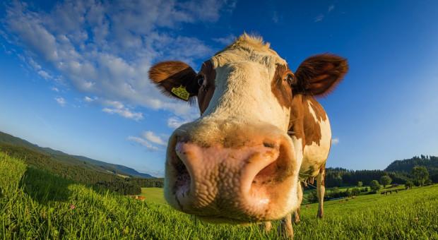 Sprzedaż kulawych krów tajemnicą poliszynela?