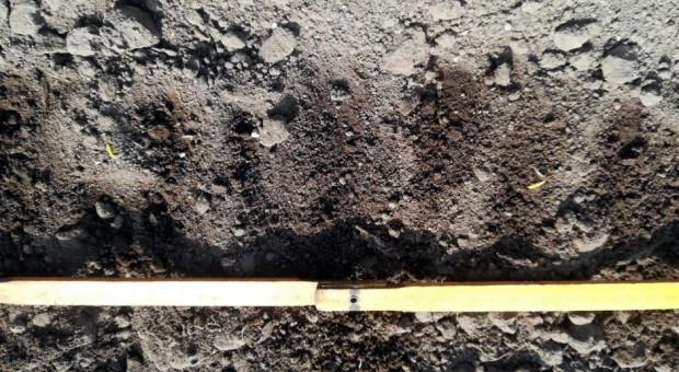 Rolnicy przesiewają buraki – siewki uszkodzone przez piasek i szarka