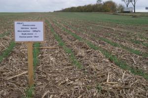 Jeden z wariantów badanych technologii obejmuje wysiew pszenicy w rzędach oddalonych od siebie co 66 cm.