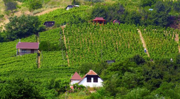 Copa-Cogeca o przyszłość europejskiej uprawy winorośli